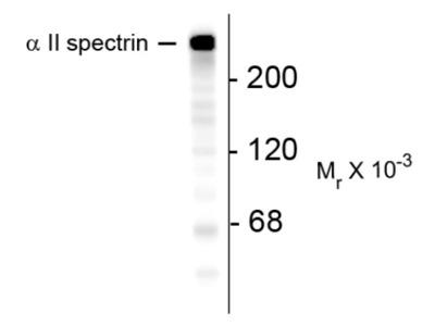 anti Spectrin alpha chain (brain) / SPTAN1