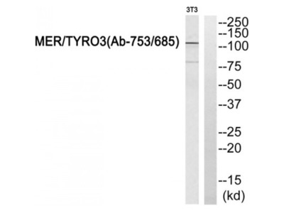 MER / TYRO3 Antibody