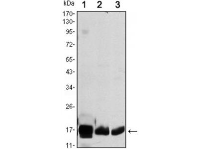 COX4I1 Antibody