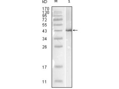 Influenza B virus Nucleoprotein Antibody