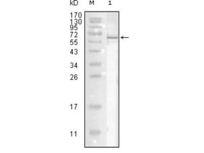 Influenza A virus Nucleoprotein Antibody