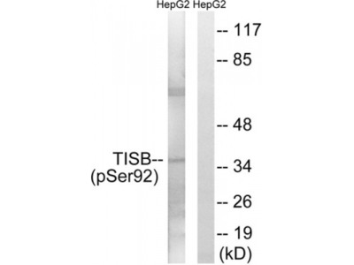 mRNA Decay Activator Protein ZFP36L1 Phospho-Ser92 (ZFP36L1 pS92) Antibody