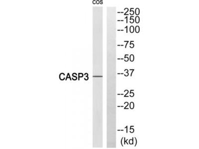 Caspase 3 Cleaved-Ser29 (CASP3 Cleaved-S29) Antibody