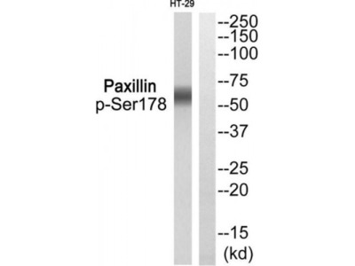 Paxillin (Phospho-Ser178) Antibody