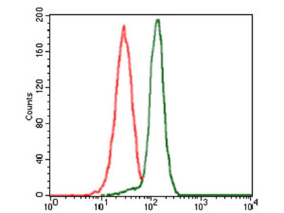 Protein Phosphatase, Mg2+/Mn2+ Dependent 1A (PPM1A) Antibody