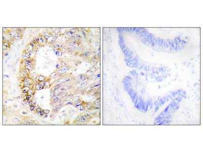 Cytochrome C Oxidase Subunit 4 Isoform 1, Mitochondrial (COX41) Antibody