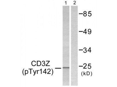 CD3 zeta (Phospho-Tyr142) Antibody