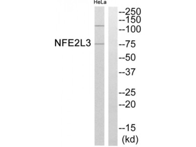 Nuclear Factor, Erythroid 2 Like 3 (NFE2L3) Antibody