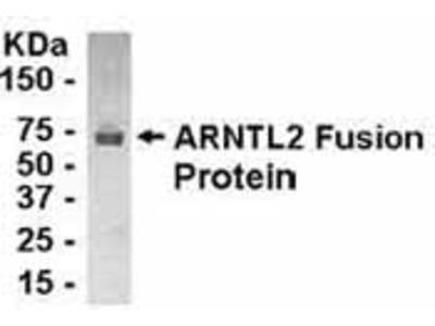 Chicken Polyclonal ARNTL2 Antibody
