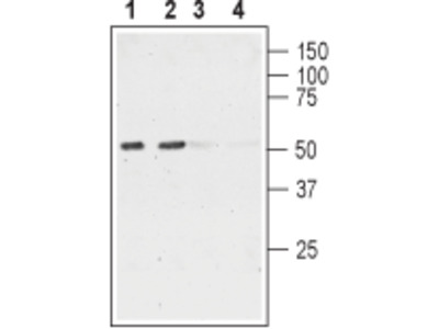 Anti-Nicotinic Acetylcholine Receptor alpha6 (CHRNA6) (extracellular) Antibody