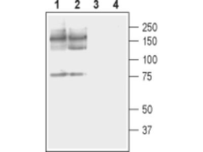 Anti-PMCA2 Antibody