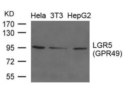 LGR5 antibody
