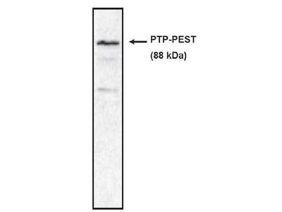 PTP PEST antibody
