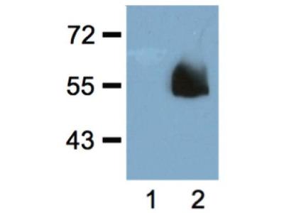 HA antibody