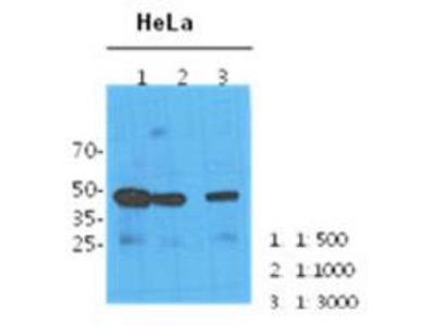 NANS antibody