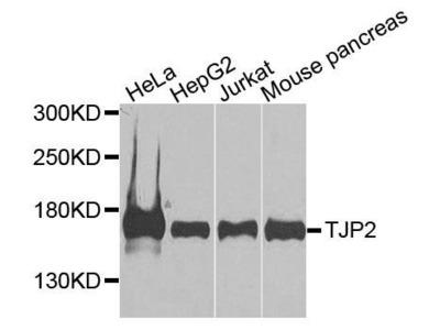 ZO-2 antibody