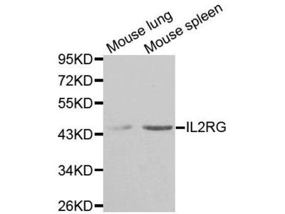 IL2RG antibody