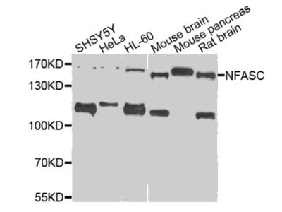 NFASC antibody