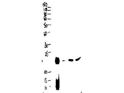BPIFA1 antibody