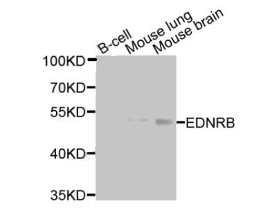EDNRB antibody
