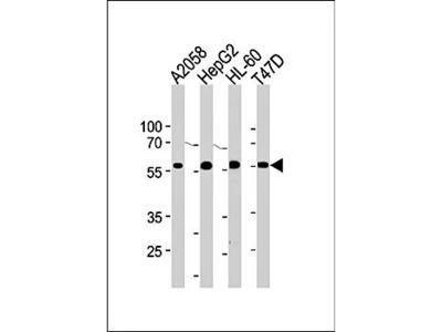 GRN antibody
