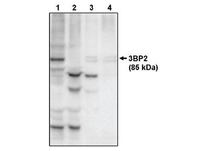 3BP2 antibody