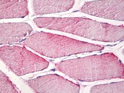 N-COPINE antibody