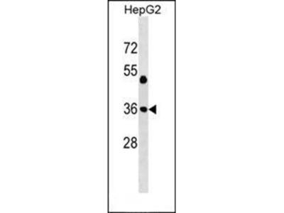 JUN antibody