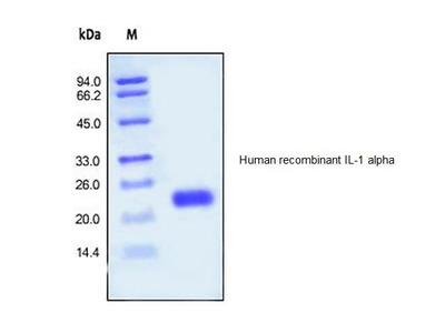 Human CellExp™ IL-1 Alpha, human recombinant