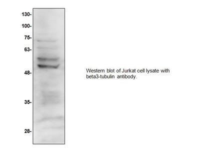 Beta3-Tubulin (TUJ-1) Antibody