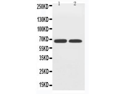 Anti-GLUT12/SLC2A12 Antibody