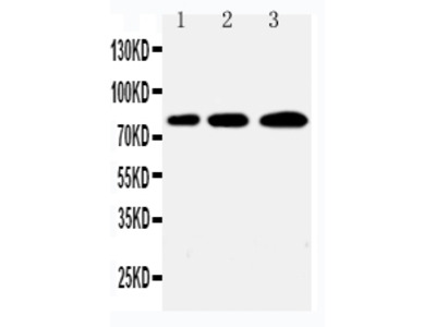 Anti-PLK2/Snk Antibody