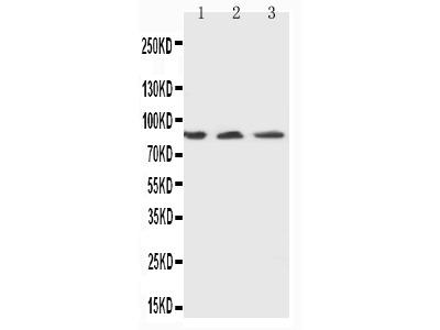Anti-Ku80 Antibody