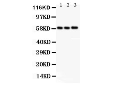 Anti-GLUT9/SLC2A9 Antibody