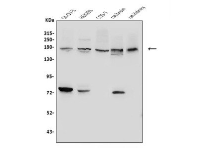 Anti-Collagen I/COL1A1 Antibody