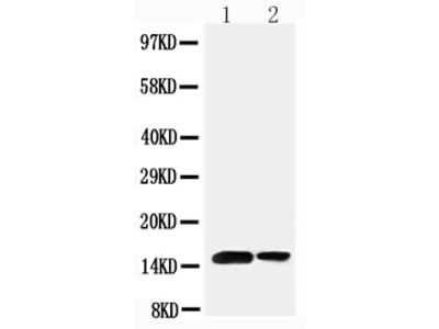 Anti-Sumo 1/SUMO1 Antibody
