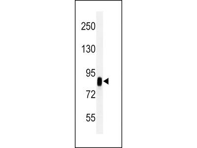 CD44 Antibody (OAAB06798)