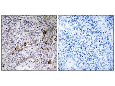 RAB11FIP3 Antibody (OAAF04111)
