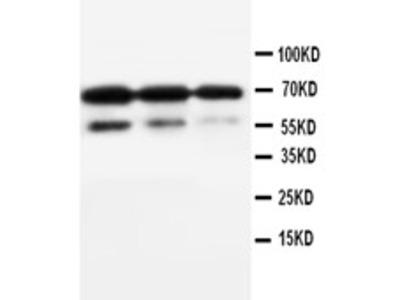 CD34 Antibody (OABB00293)