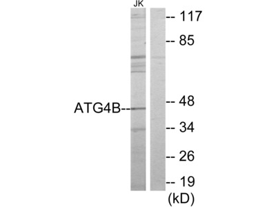 ATG4B Antibody (OAAF02774)