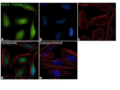 alpha Tubulin Monoclonal Antibody (TU-01), FITC