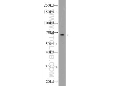 C20orf152 antibody