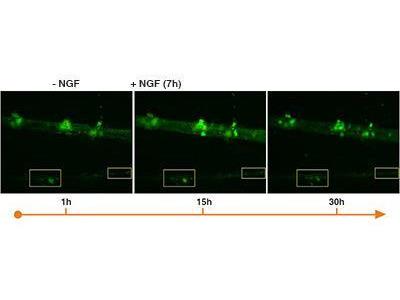 Polarity Sensitive Indicator of Viability Apoptosis Microscopy Kit