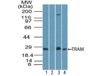 TRAM/TICAM2 Antibody