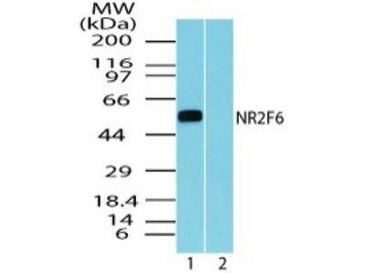 EAR2 / NR2F6 Antibody