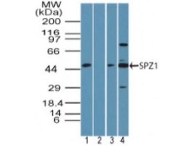 SPZ1 Antibody
