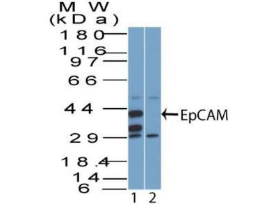 EpCAM / TROP1 Antibody