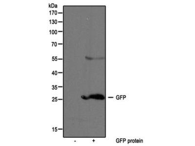 Rabbit Polyclonal GFP Antibody