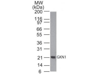 Gastrokine 1 Antibody