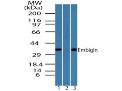 Rabbit Polyclonal Embigin homolog Antibody